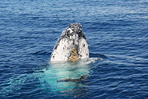 From whaling to whale watching: A story of recovery